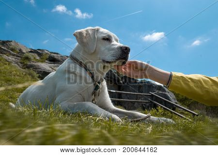 young cute labrador retriever dog puppy gets cuddled by a hand