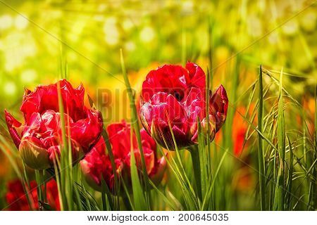 Unusual red tulips in green grass in the sun beams. Summer flowers in the garden. Outdoors selective focus close-up image.