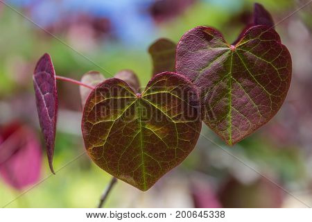 Multi-colored heart shaped leaves illuminated by the sun in the spring or fall