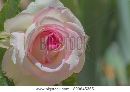 Isolated Pink promise rose in full bloom in a garden brightly illuminated in the sun.