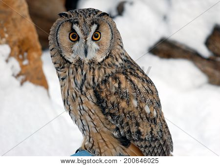 Close up front view of owl in a winter landscape