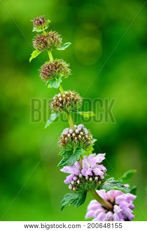 Flowers of Phlomoides tuberosa (Phlomis tuberosa). Close up