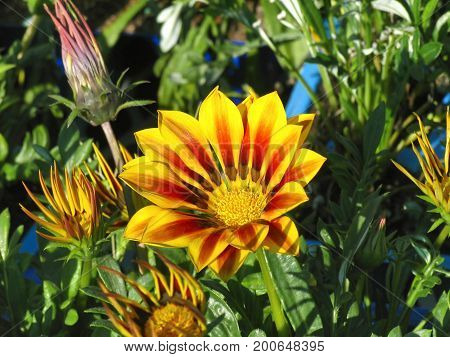 AN ORANGE  AND YELLOW GAZANIA FLOWER IN FULL BLOOM, WITH SOME BUDS ABOUT TO OPEN