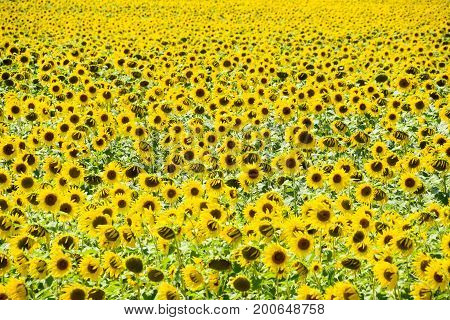 Field Of Blooming Sunflowers. Flowering Sunflowers In The Field. Sunflower Field On A Sunny Day.