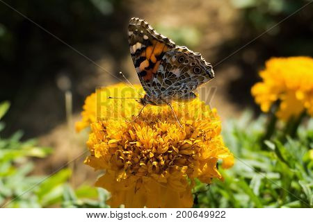Painted Lady Butterfly (Vanessa cardui) takes nectar from plant. Butterfly is sitting on a yellow flower. Painted Lady resting in garden