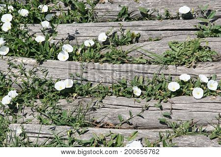 White bells growing between boards of a wooden pavement. Greece