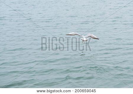Gannet in Flight over the sea winter