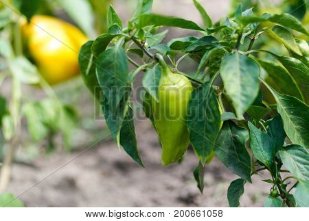 Close-up of ripening peppers in the organic pepper plantation.Fresh Yellow and Red sweet Bell Pepper Plants with Selective Focus in plantation, paprika