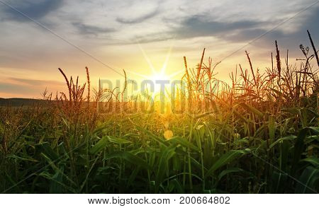 A green field of corn growing up in summer
