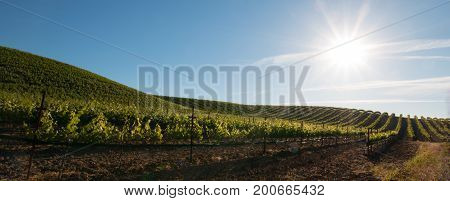 Early Morning Sun Shining On Paso Robles Vineyards In The Central Valley Of California United States