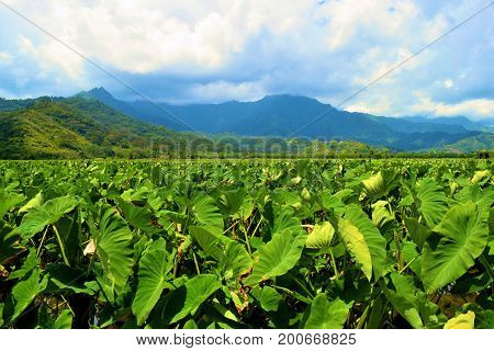 Taro agricultural field taken at the Hanalei Valley on the Island of Kauai, HI