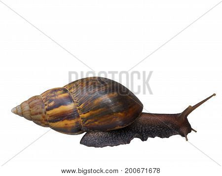 Snail Beautiful natural animals isolated on white background. (clipping path)