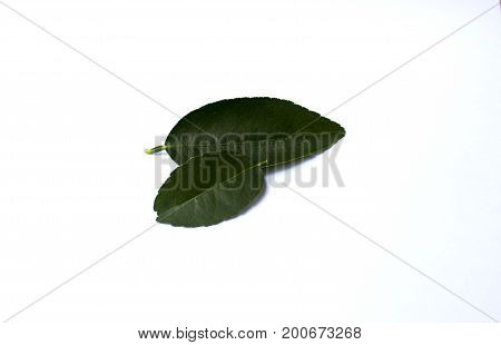 Leaves of lime green on a white background.