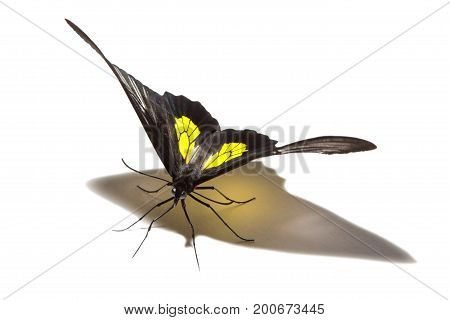 Troides Hypolitus Butterfly Isolated On White