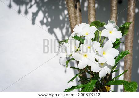 Beauty White Plumeria Pudica Bloom On The Tree