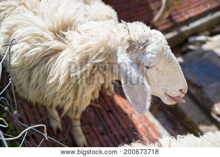 Closeup Funny Face Sheep, Tongue Sticking