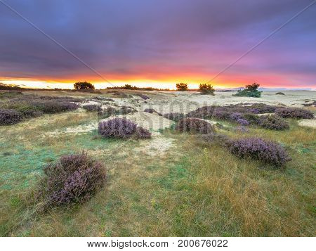 Dots Of Heath Hoge Veluwe National Park Holland