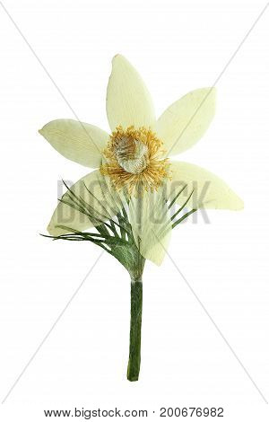 Pressed and dried pasque-flower isolated on white background. For use in scrapbooking floristry (oshibana) or herbarium.