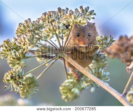 Eurasian Harvest Mouse Foraging On Seeds
