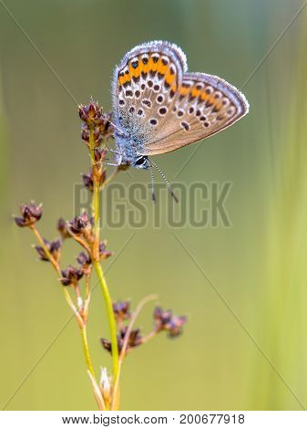 Female Silver-studded blue (Plebejus argus) butterfly preparing for night on Sharp-flowered Rush (Juncus acutiflorus) in natural habitat