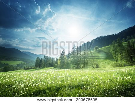 field of spring dandelions in Dolomites, South Tyrol, Italy