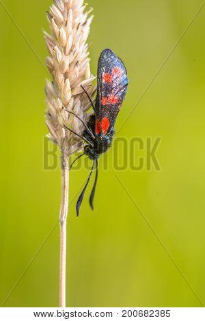 Six-spot Burnet (zygaena Filipendulae) Moth On Bright Green Background