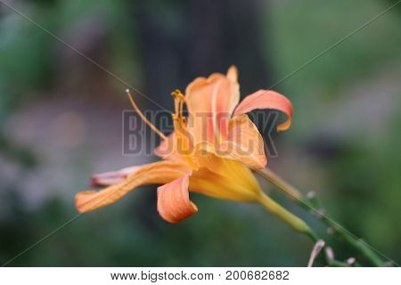 Charming Blooming Tender Lily Flower - Summer Background For Advertising And Isolating