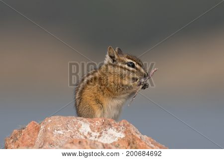 A chipmunk eating a large grass grain on a rock