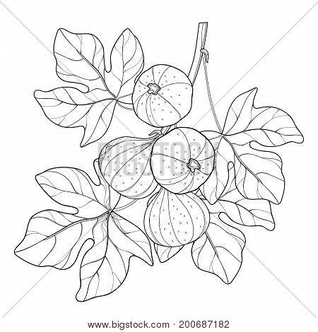 Vector branch with outline Common Fig or Ficus carica fruit and leaf in black isolated on white background. Perennial subtropical plant in contour style for exotic summer design and coloring book.