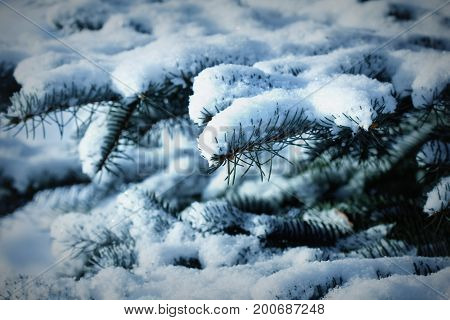 Fir branch heavily covered with fresh snow in forest .