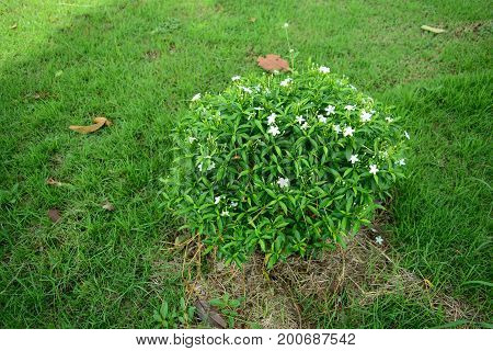 green ornament plant with white bloom at grass field in garden