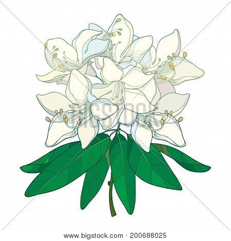 Vector branch with outline Rhododendron or Alpine rose flower in pastel white and leaves isolated on white background. Evergreen mountain shrub. Flowers in contour style for summer design.