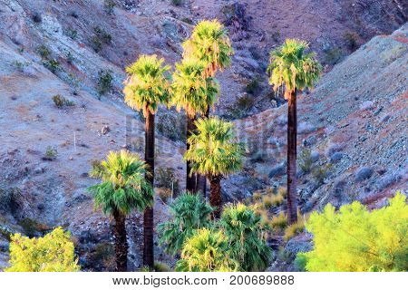 California Fan Palm Trees at a natural desert oasis taken in the rural Colorado Desert, CA