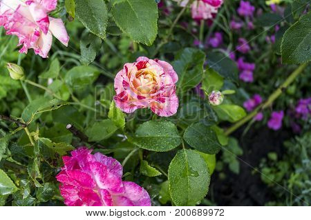 Red white violet garden roses a picture on a fully open dagger the background is blurred