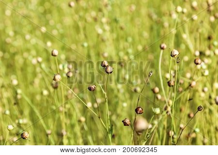 faded flowers of flax in field, close up photo poster