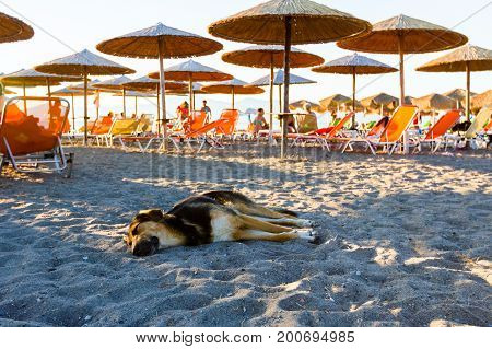 The dog sleeps on a beach among tourists umbrellas with loungers next to the coastline.