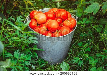 Bucket with vegetables on the grass Tomatoes Bucket Grass