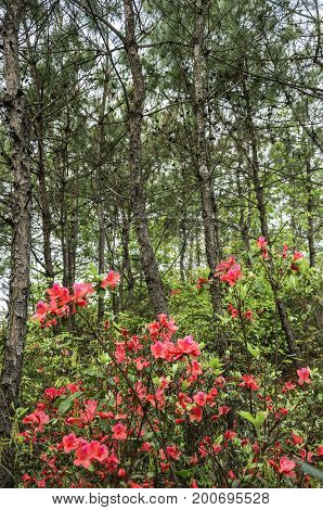 The blossoming azalea flowers scenery in spring