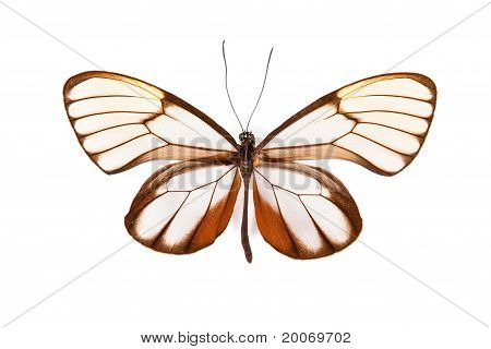 Brown And White Butterfly Godyris Duilia Isolated On White Background