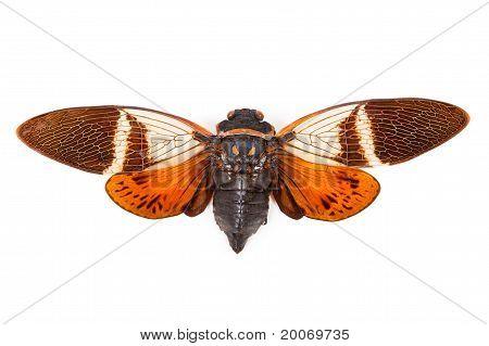 Red And Brown Cicada Anganiana Flordula Isolated