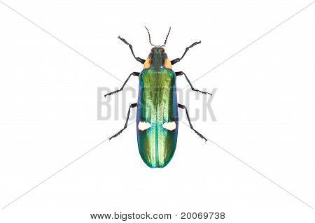 Green Beetle Megaloxantha Bicolorassamensis Isolated