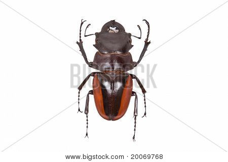 Brown Beetle Odontolabis Cuvera Isolated