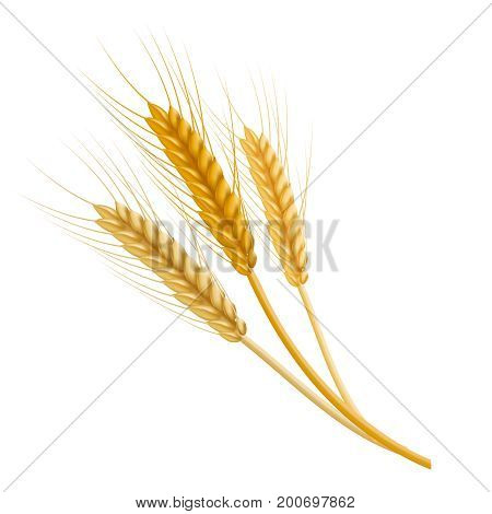 Realistic Detailed Color Wheat Ear Agriculture Farm Fresh Healthy Tasty Organic Bread Food. Vector illustration of ears