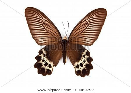 Brown And Yellow Butterfly Atrophaneura Priapus Isolated On White Background