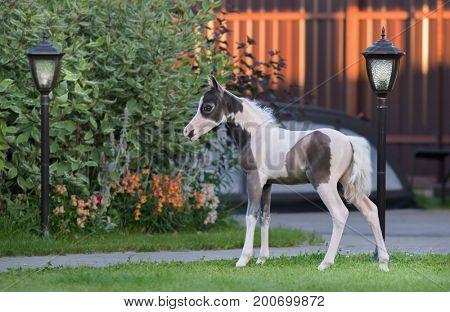 American miniature horse. Pinto foal on green grass in garden.
