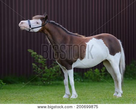 American miniature horse. Pinto mare standing on green grass on dark background.