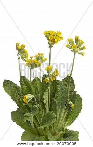 Yellow flowering Cowslip