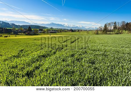 Cows grazing on fresh green mountain pastures on the background of snow-capped Alps. Animal husbandry in Switzerland fields and meadow