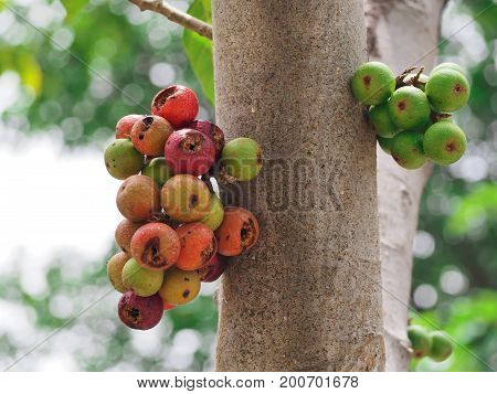 green and red Ficus carica racemosa or figs on the tree in forest Thailand.