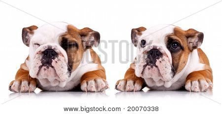 Two Poses Of A Very Cute English Bulldog